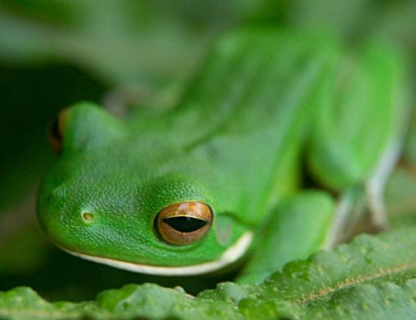 Green_Tree_Frog